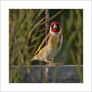 Goldfinch on fence