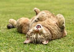 Happy Days! Celebrating England's win with a roll and a smile 😺 (linda.m.davison@btinternet.com) Tags: katze england tabbycat tabby happycat katzen chat cat