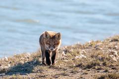 The Hunter (Dan King Alaskan Photography) Tags: redfox fox vulpesvulpes hunter young eyes kit northslope alaska canon80d sigma150600mm