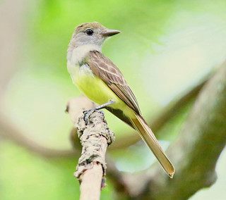 great-crested-flycatcher-30