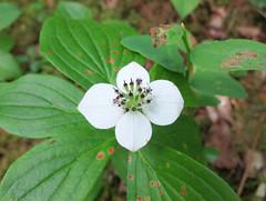 Bunchberry (Ruth and Dave) Tags: bunchberry cornus whistler whistlerblackcomb whistlerinterpretiveforest whistlercommunityforest forest white dogwood undergrowth