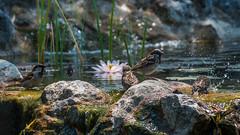 Baignade en famille (pascal548) Tags: moineau oiseau