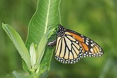 Femelle de Monarque pondant / Female of Monarch laying egg (alainmaire71) Tags: lepidoptera lépidoptère butterfly danainae danausplexippus monarque monarch nature quebec canada