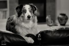 Hedgehog Crimes Against Dogs (Jasper's Human) Tags: aussie australianshepherd dog hedgehog zippypaws