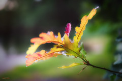 Oakleaves in July (Øyvind Bjerkholt (Thanks for 56 million+ views)) Tags: canon5dm3 f28 dof bokeh macro nature landscape minimalistic leaves oakleaves tree vivid july summer beautiful arendal norway