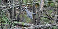 Yellow Crowned Night Heron_1119c (Porch Dog) Tags: 2018 garywhittington kentucky nikond750 nikkor200500mm wildlife birds nature slough
