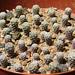 Turbinicarpus pseudomacrochele SB1049