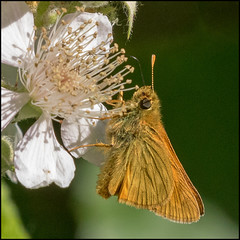 Small Skipper (John R Chandler) Tags: animal brandonmarsh butterfly insect smallskipper thymelicussylvestris unitedkingdom warwickshire warwickshirewildlifetrust coventry uk gb