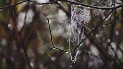 (Wilted17) Tags: waterdroplets dew spiderwebs webs