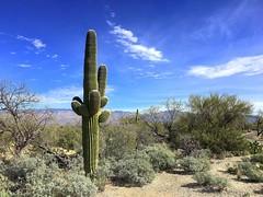 Saguaro National Park (PeterCH51) Tags: tucson arizona usa america saguaronationalpark nationalpark saguaro cactus saguarocactus scenery landscape iphone peterch51