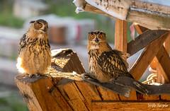 SO8A3577 (Risto Kuisma) Tags: owl bird birdlife helsinki luonto nature huuhkajat eyes pöllö outdoor finland summer europe