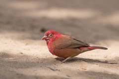 Red Billed Firefinch (arthurpolly) Tags: avian avianexcellence abigfave anawesomeshot birds beautiful blueribbonwinner canon brufut 7dmk2 100400is eos elements13 exotic flickrdiamond gambia impressedbeauty nature natureselegantshots naturesfinest nationpark redbilledfirefinch photoshop platinumphoto unforgettablepictures wildlife wild firefinch z