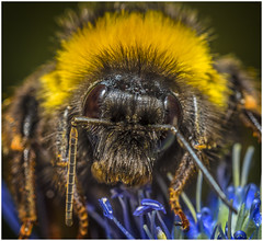 Male Red Tailed Bumblebee (Pitheadgear) Tags: nature bee bees insects macro macrophotography micro microfourthirds microphotography closeups leicadgmacroelmarit45mm lumixgx8