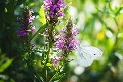 Parc de Mariemont 08-07-18 025 (TM-Photography.be) Tags: parc mariemont photoclub pixll sortie belgique belgium hainaut morlanwelz nature faune flore fleurs animaux
