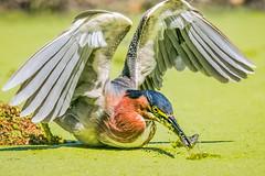 Gone fishing (cbjphoto) Tags: avian beach carljackson bird heron green photography huntington california