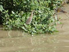 Indian pond heron  -  Ardeola grayii (rsilwar@yahoo.com) Tags: indian pond heron paddy paddyreiher myanmar burma rangoon yangon reinhard silwar reiher ardeola grayii