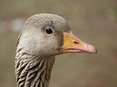 Greylag goose (PhotoLoonie) Tags: goose greylaggoose waterbird wildlife nature bird