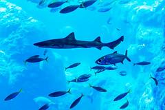 At Enoshima Aquarium, Fujisawa : 新江ノ島水族館にて(藤沢市) (Dakiny) Tags: 2018 summer july japan kanagawa fijisawa shonan coast enoshima kataseenoshima park aquarium enoshimaaquarium city street indoor creature fish underwater blue nikon d750 nikonafsmicronikkor60mmf28ged fsmicronikkor60mmf28ged
