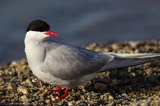 Makrellterne - Common tern