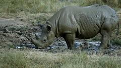 All over Mud Pack (decorace51) Tags: rhino yorkshirewildlifepark