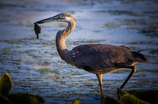 Blue Heron at John Heinz NWR