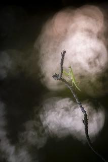 Little mantis in fire