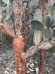 Tree Prickly-Pear - Opuntia echios var. gigantea - Isla Santa Cruz, Galapagos, Ecuador - July 3, 2018 (mango verde) Tags: treepricklypear opuntiaechiosvargigantea cactaceae opuntia echios cactus pricklypear gigantea opuntiaechios charlesdarwinresearchstation islasantacruz galapagos ecuador mangoverde