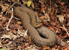Northern Water snake (don.white55 That's wild...) Tags: donwhite canoneos70dtamronsp150600mmf563divcusda011 canoneos70d tamronsp150600mmf563divcusda011 lens animal reptile coiled leaves forestfloor driedleaves earthtones harrisburgpennsylvania dauphincounty pennsylvania pennsylvaniawildlife nature wildlife scales snakeeye tamron150600mm 150600mm northernwatersnakenerodiasipedon