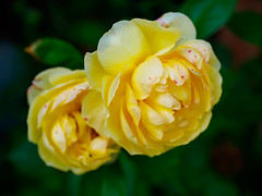 Pale yellow roses speckled with red (Raoul Pop) Tags: garden morning spring color flowers pair home yellow dots specks roses red