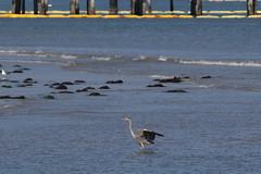 IMG_2472 (armadil) Tags: mavericks beach beaches bird birds flying californiabeaches heron greatblueheron blueheron