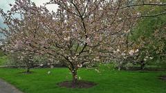 """Prunus Hokusai""....Japanese Cherry Tree (standhisround) Tags: trees tree treemendoustuesday kewgardens kew london leaves cherry royalbotanicalgardens rbg uk japanese prunushokusai cherrytree pink gardens grass blooms flowers"