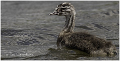Young Grebe (timgoodacre) Tags: greatcrestedgrebe grebe babygrebe younggrebe bird birds birdportrait wildbird waterbird water waterfowl waterdrops waterfoul nature ngc