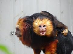 Golden-headed lion tamarin - Smile? (Rasenche) Tags: landgoedhoenderdaell animal primate goldenheadedliontamarin young baby annapaulowna