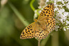 SILVER WASHED FRITILLARY (_jypictures) Tags: animalphotography animals animal canon canon7d canonphotography photography pictures butterfly butterflies planet animalplanet silverwashedfritillary ukwildlife national geographic wildlife