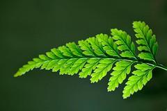 Line Symmetry (peeteninge) Tags: macromondays linesymmetry leaf green nature blad groen natuur macro fujifilmxt2 fujifilm xf80mmf28