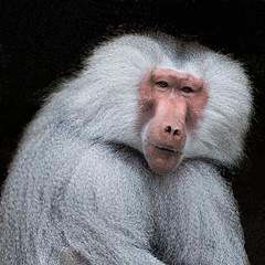 Baboon / Pavian (berndkru) Tags: leicadg50200f2840 panasonicdcg9 baboon pavian münchen munich hellabrunn tiergarten zoo tiere animals