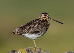 Snipe 28-06-2018-5969 (seandarcy2) Tags: waders wildlife birds snipe common isleofmull uk