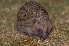 Hedgehog (ian._harris) Tags: nikon d7200 hedgehog naturaleza nature naturephotography june tamron garden sommer colours