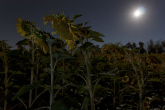 Moonlit sunflowers (Leonardo Del Prete) Tags: moon luna moonlight girasoli sunflowers night notte fullmoon lunapiena moonlit field campo le longexposure lungaesposizione marche italy