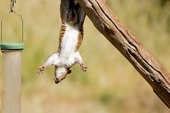 Squirrel - RSPB Sandy (Airwolfhound) Tags: rspb sandy bedfordshire squidge squirrel