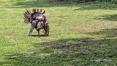 Ragged Turkey (augphoto) Tags: augphotoimagery meleagrisgallopavo wildturkey animal bird wildlife carlisle southcarolina unitedstates