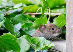 What'son the table today (juliekemp) Tags: vole bankvole mammal small mammals nature photooftheday