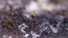 Hold On (Thomas TRENZ) Tags: aussicht gelb ladybug marienkäfer moos nikon tamron thomastrenz festhalten ganzoben hanging hold holdon hängen iamnikon macro macrophotography makro makrofotografie natur nature nikonaustria oben onthetop tamronlens top withmytamron yellow