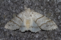Pale Tussock Moth - female (Calliteara pudibunda) - Explored (wayne.withers1970) Tags: small pretty wings fly flight flying color colorful nature natural colour colourful wild wildlife wales spring summer macromonday butterfly moth flickr dof bokeh country countryside outside outdoors alive fauna canon sigma light black white grey fine dark macro macromondays paletussockmoth
