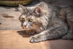 Stalking Bugs (helenehoffman) Tags: fluffy portrait domestic kitty tortoiseshell cat pet dilutedtortoiseshell feline furry animal