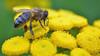 honey bee on tansy (Tanacetum) (conall..) Tags: terrace hill garden nationaltrust minnowburn closeup raynox dcr250 macro bee honeybee apis mellifera apismellifera flower flowerhead tanacetum tansie asteraceae composite
