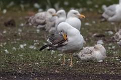 Lesser Black-backed Gull (graellsii) - 4CY - June (Keith V Pritchard) Tags: 3rdsummer 4cy 4thcalendaryear dorset june larusfuscusgraellsii lesserblackbackedgull lodmoor uk weymouth gull laridae seagull