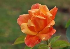 Rose (Hugo von Schreck) Tags: hugovonschreck rose flower blume blüte macro makro canoneos5dsr