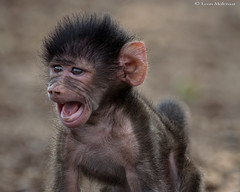 """I meant WOULDN'T !!!!!"" (leendert3) Tags: select leonmolenaar southafrica krugernationalpark wildlife nature mammals chacmababoon"