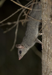 Brush-tailed Phascogale - Phascogale tapoatafa (Wildlife, Landscape and Travel - Jono Dashper) Tags: one best encounters i have had with this awesome marsupial melbourne victoria brushtailed phascogale tapoatafa wildlife nature mammal